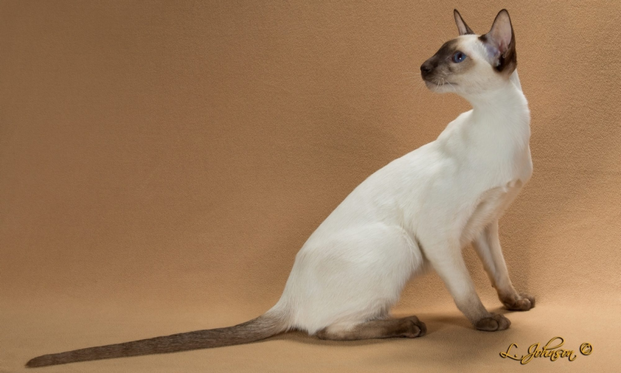 Chat-Awhile Siamese